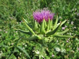 Milk Thistle to detox your body